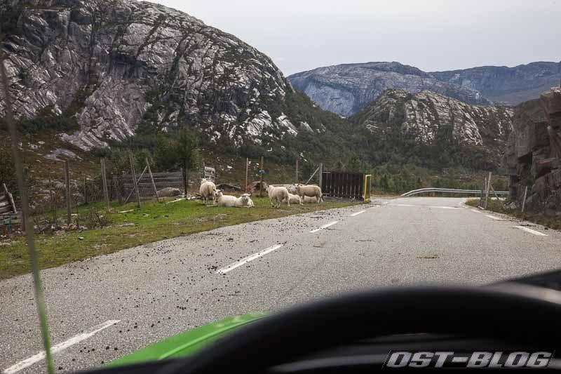 Norwegen-Schafe